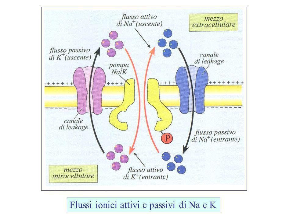 Flussi ionici attivi e passivi di Na e K