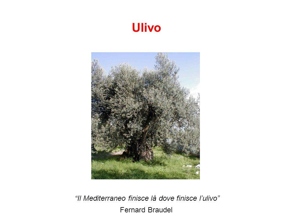 Il Mediterraneo finisce là dove finisce l'ulivo