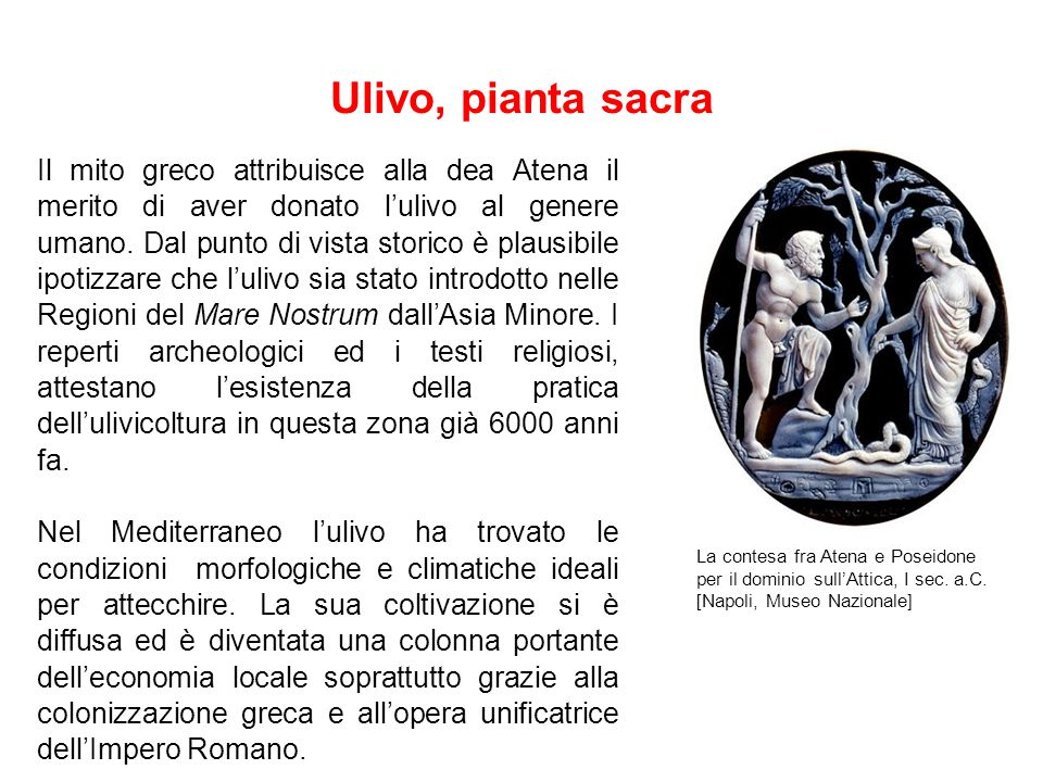 Ulivo, pianta sacra
