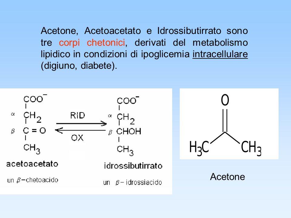 Acetone, Acetoacetato e Idrossibutirrato sono tre corpi chetonici, derivati del metabolismo lipidico in condizioni di ipoglicemia intracellulare (digiuno, diabete).