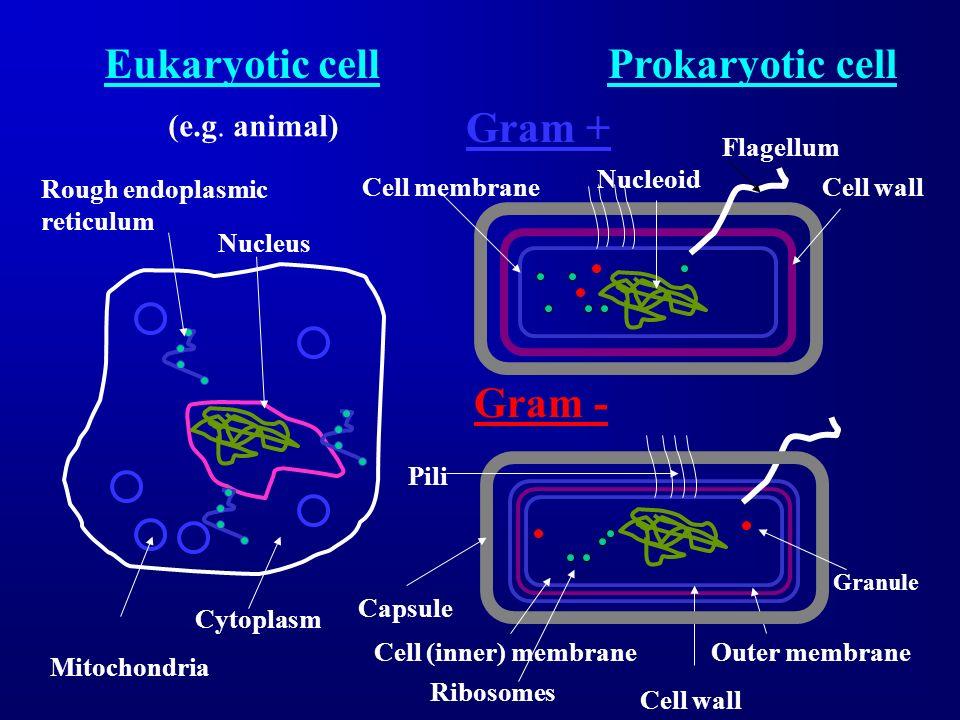 Eukaryotic cell Prokaryotic cell Gram + Gram - (e.g. animal) Flagellum