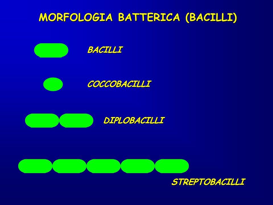 MORFOLOGIA BATTERICA (BACILLI)