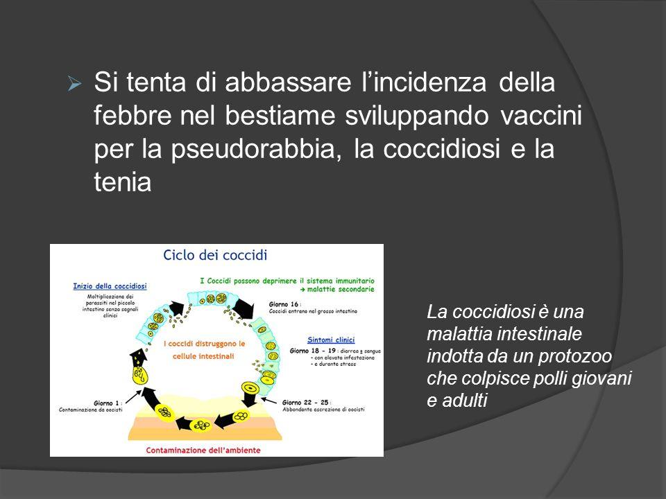 Si tenta di abbassare l'incidenza della febbre nel bestiame sviluppando vaccini per la pseudorabbia, la coccidiosi e la tenia