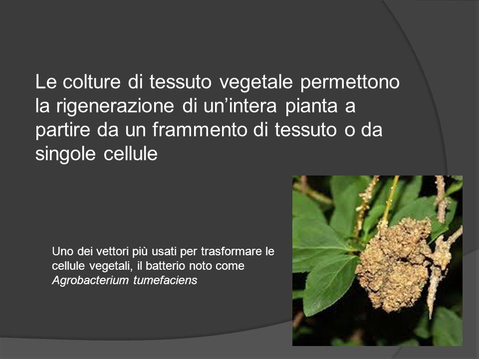 Le colture di tessuto vegetale permettono la rigenerazione di un'intera pianta a partire da un frammento di tessuto o da singole cellule