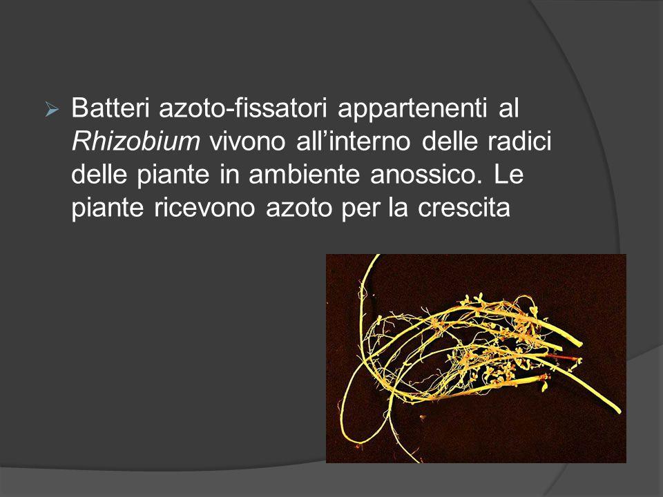 Batteri azoto-fissatori appartenenti al Rhizobium vivono all'interno delle radici delle piante in ambiente anossico.