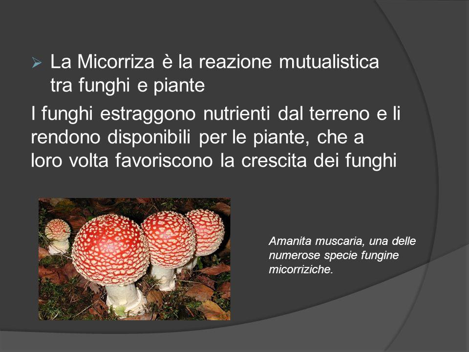 La Micorriza è la reazione mutualistica tra funghi e piante