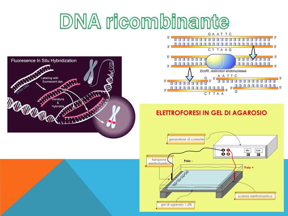DNA ricombinante