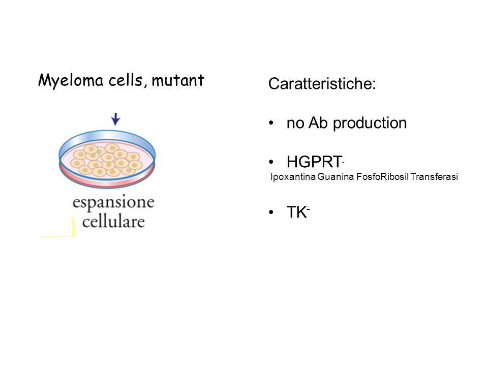 Myeloma cells, mutant Caratteristiche: no Ab production HGPRT- TK-