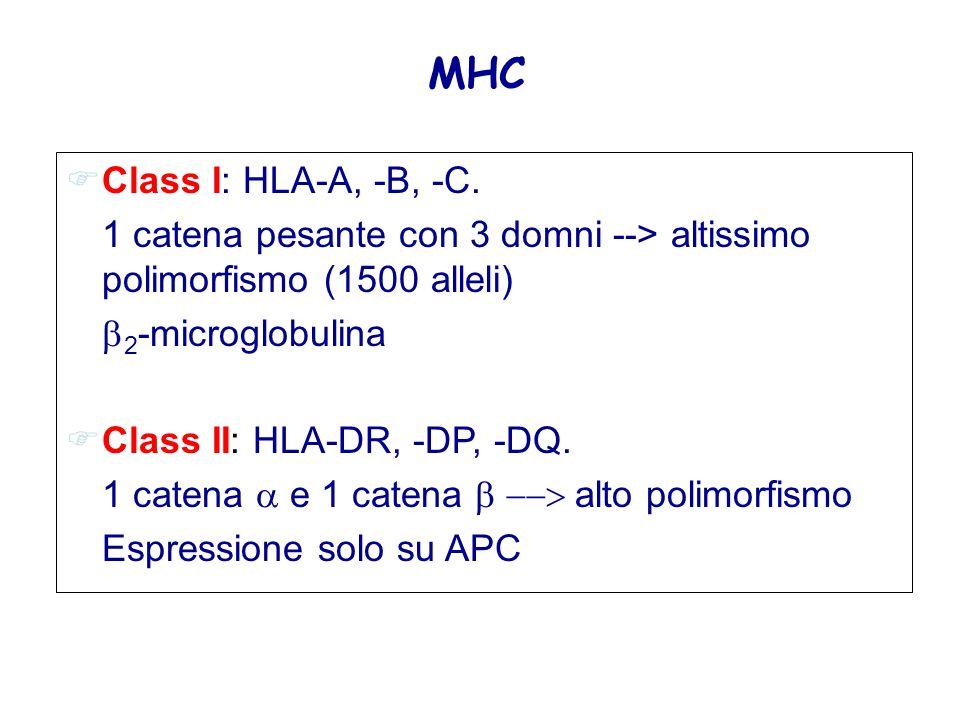 MHC Class I: HLA-A, -B, -C. 1 catena pesante con 3 domni --> altissimo polimorfismo (1500 alleli) 2-microglobulina.