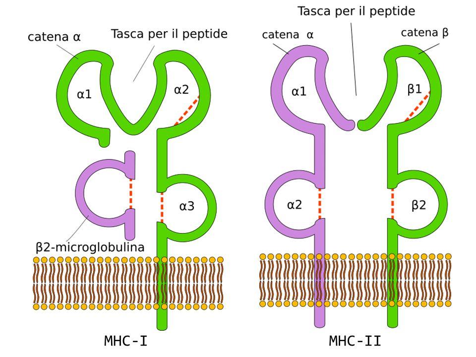 MHC-I MHC-II