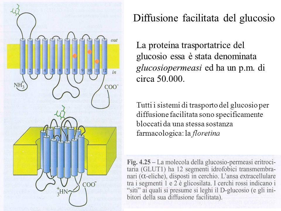 Diffusione facilitata del glucosio