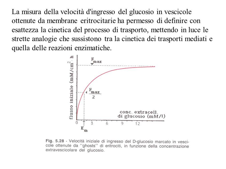 La misura della velocità d ingresso del glucosio in vescicole ottenute da membrane eritrocitarie ha permesso di definire con esattezza la cinetica del processo di trasporto, mettendo in luce le strette analogie che sussistono tra la cinetica dei trasporti mediati e quella delle reazioni enzimatiche.