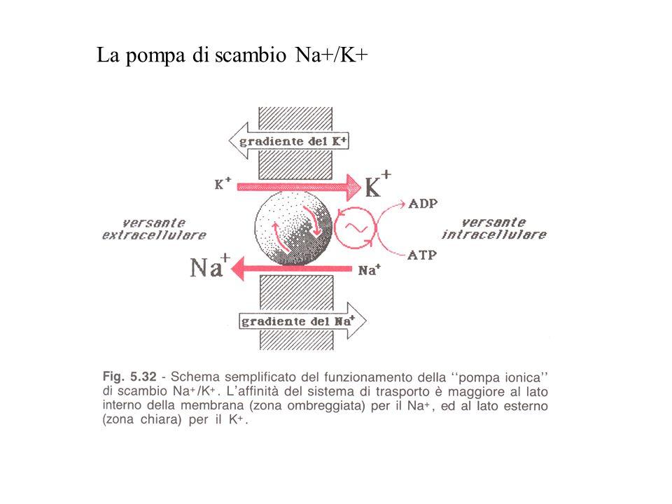 La pompa di scambio Na+/K+