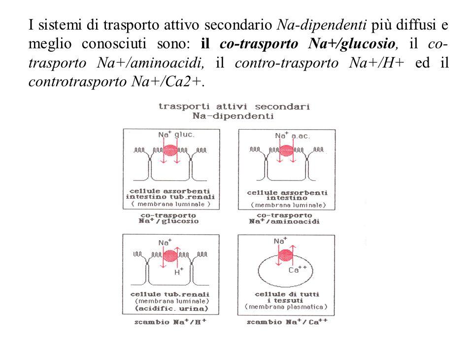 I sistemi di trasporto attivo secondario Na-dipendenti più diffusi e meglio conosciuti sono: il co-trasporto Na+/glucosio, il co-trasporto Na+/aminoacidi, il contro-trasporto Na+/H+ ed il controtrasporto Na+/Ca2+.