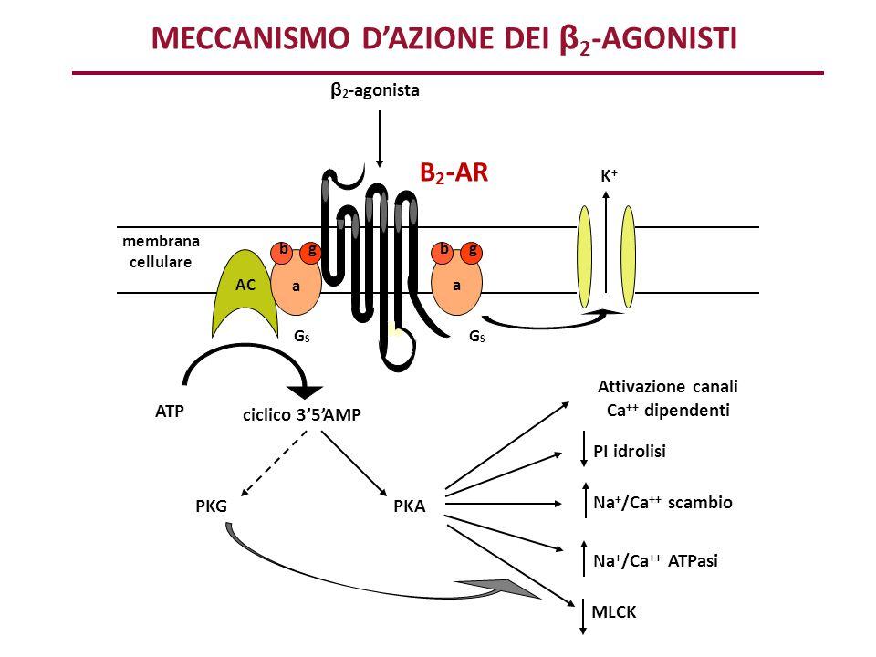 MECCANISMO D'AZIONE DEI β2-AGONISTI