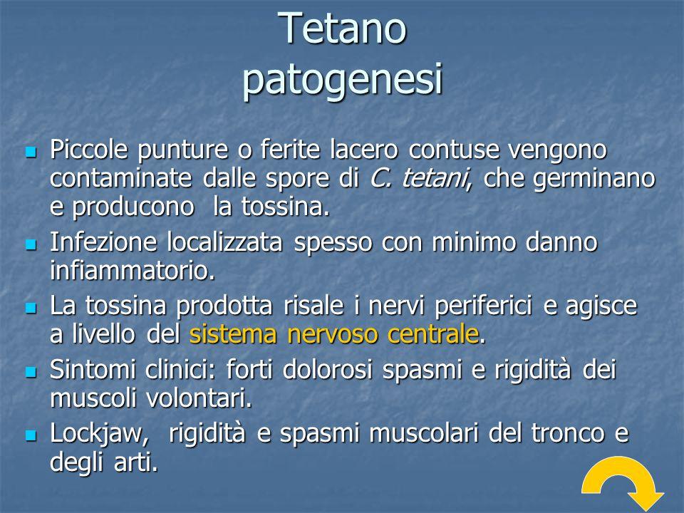 Tetano patogenesi Piccole punture o ferite lacero contuse vengono contaminate dalle spore di C. tetani, che germinano e producono la tossina.