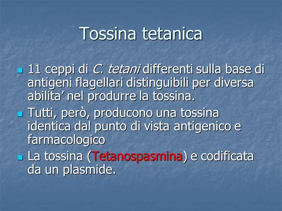 Tossina tetanica 11 ceppi di C. tetani differenti sulla base di antigeni flagellari distinguibili per diversa abilita' nel produrre la tossina.