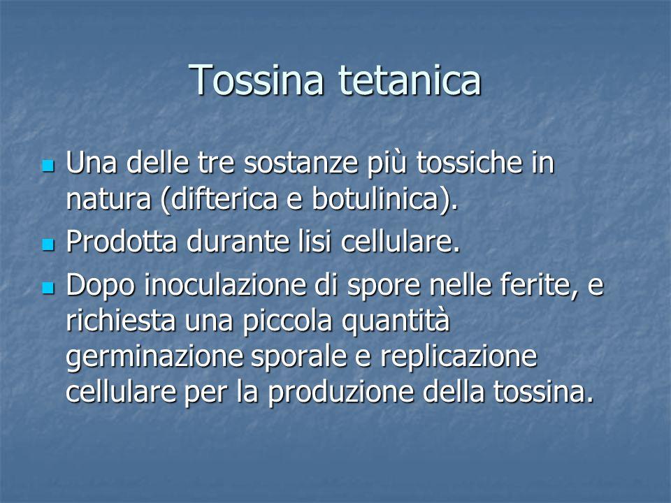 Tossina tetanica Una delle tre sostanze più tossiche in natura (difterica e botulinica). Prodotta durante lisi cellulare.