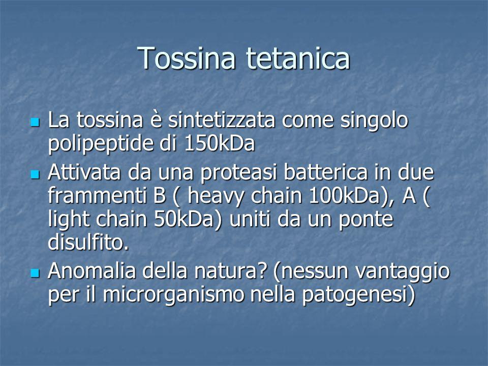 Tossina tetanica La tossina è sintetizzata come singolo polipeptide di 150kDa.