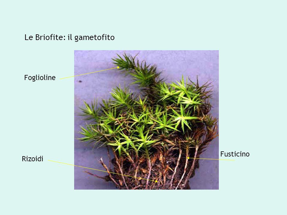 Le Briofite: il gametofito