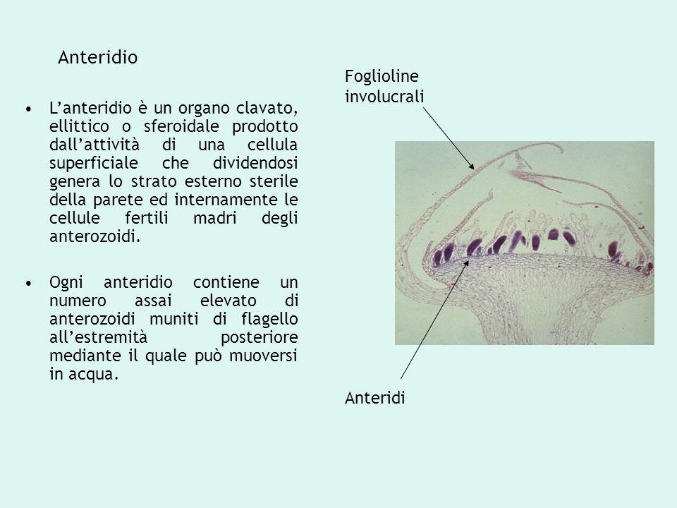 Anteridio Foglioline involucrali