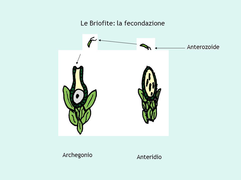 Le Briofite: la fecondazione