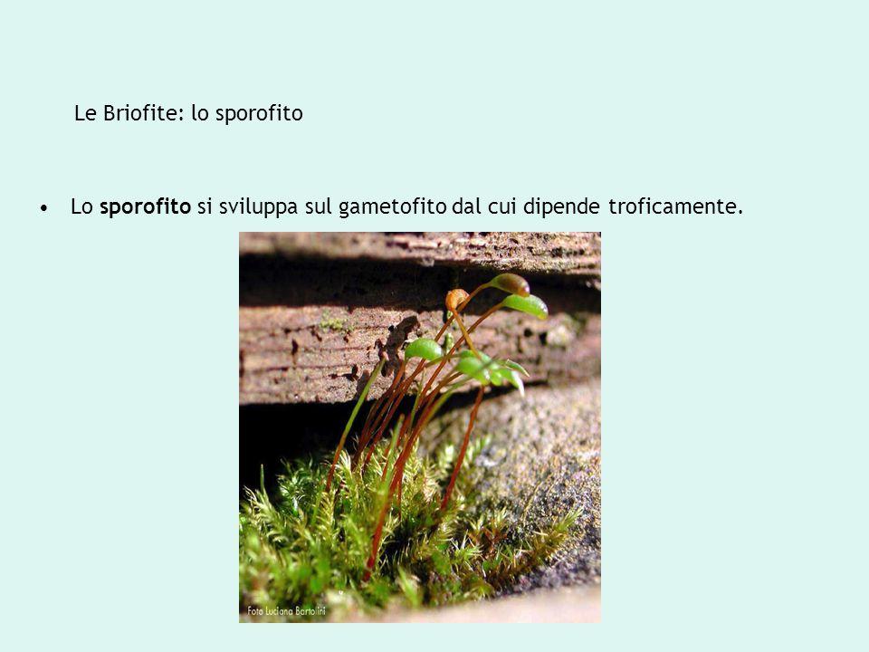 Le Briofite: lo sporofito