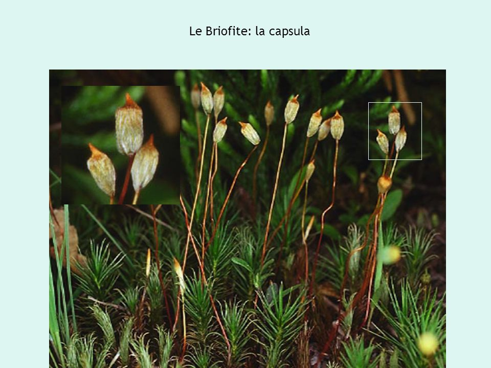 Le Briofite: la capsula