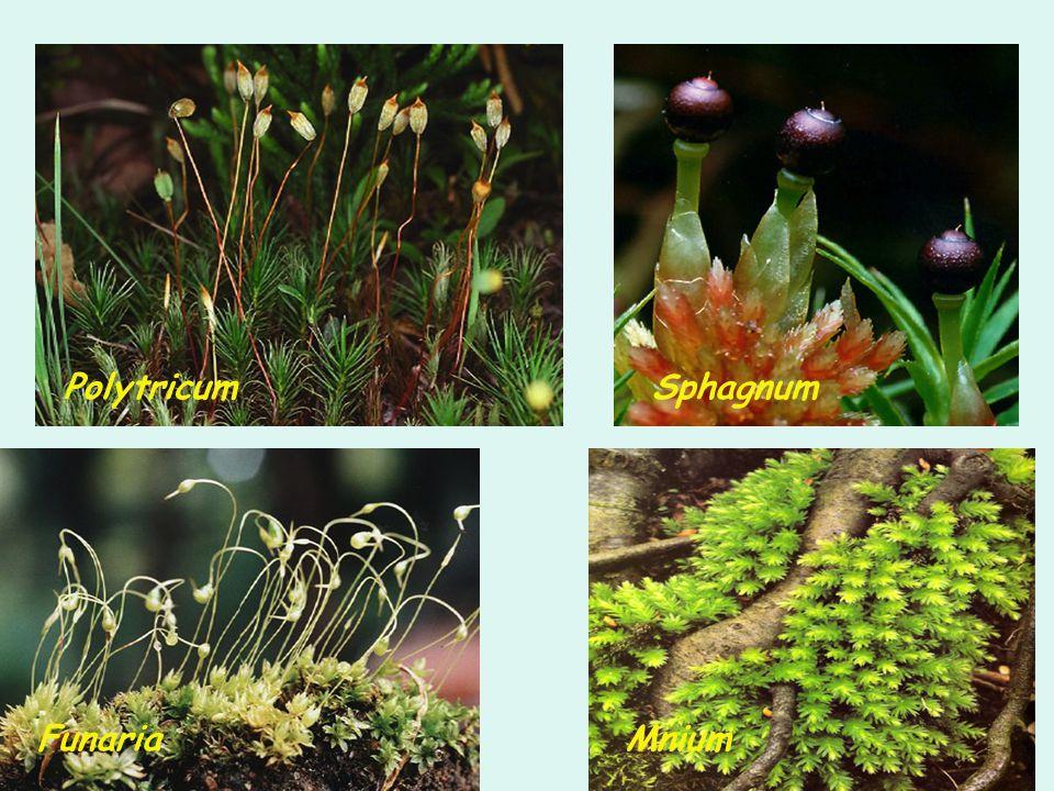 Polytricum Sphagnum Funaria Mnium