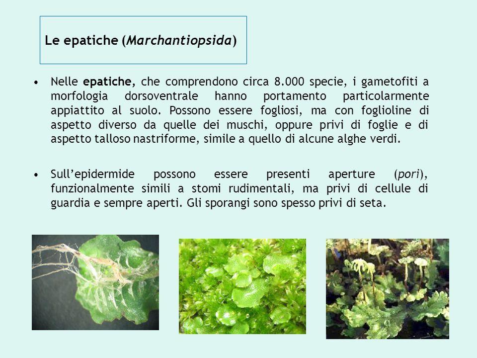 Le epatiche (Marchantiopsida)