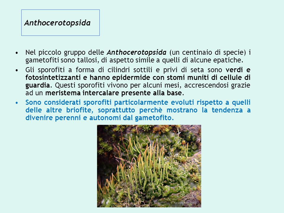 Anthocerotopsida