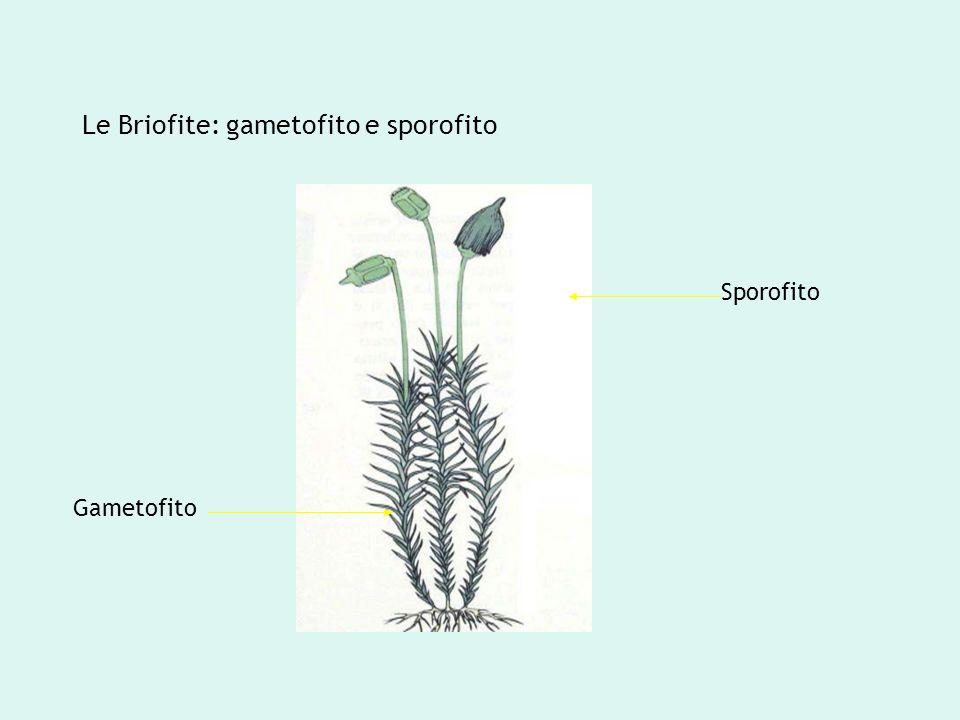 Le Briofite: gametofito e sporofito