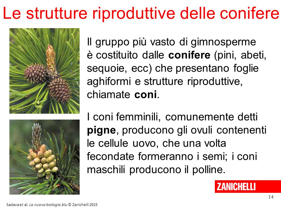 Le strutture riproduttive delle conifere