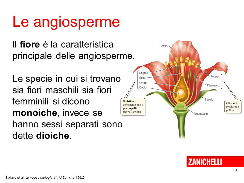 13/11/11 Le angiosperme. Il fiore è la caratteristica principale delle angiosperme.