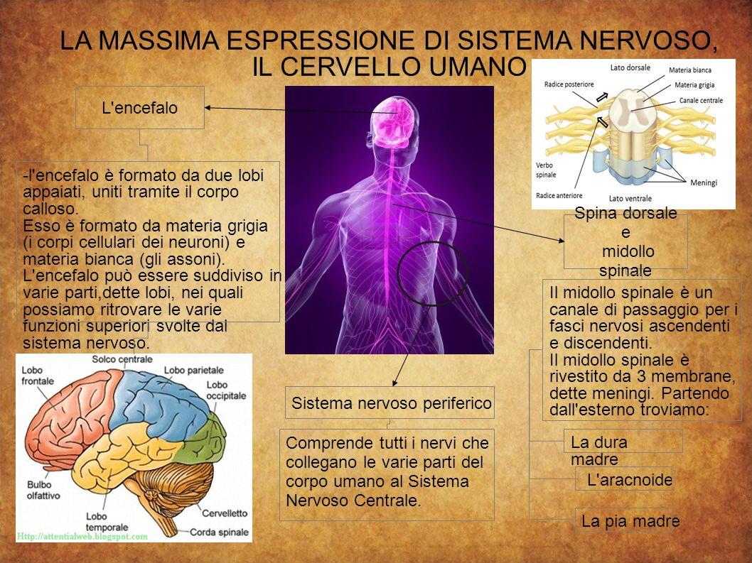 LA MASSIMA ESPRESSIONE DI SISTEMA NERVOSO,