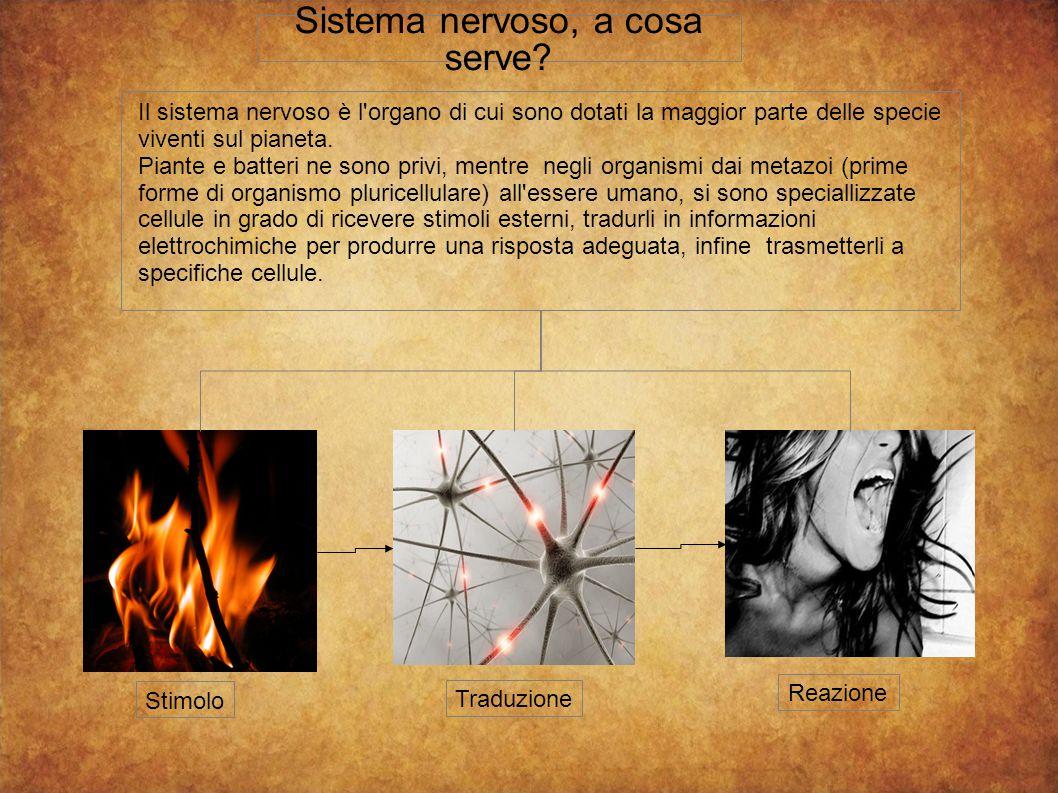 Sistema nervoso, a cosa serve
