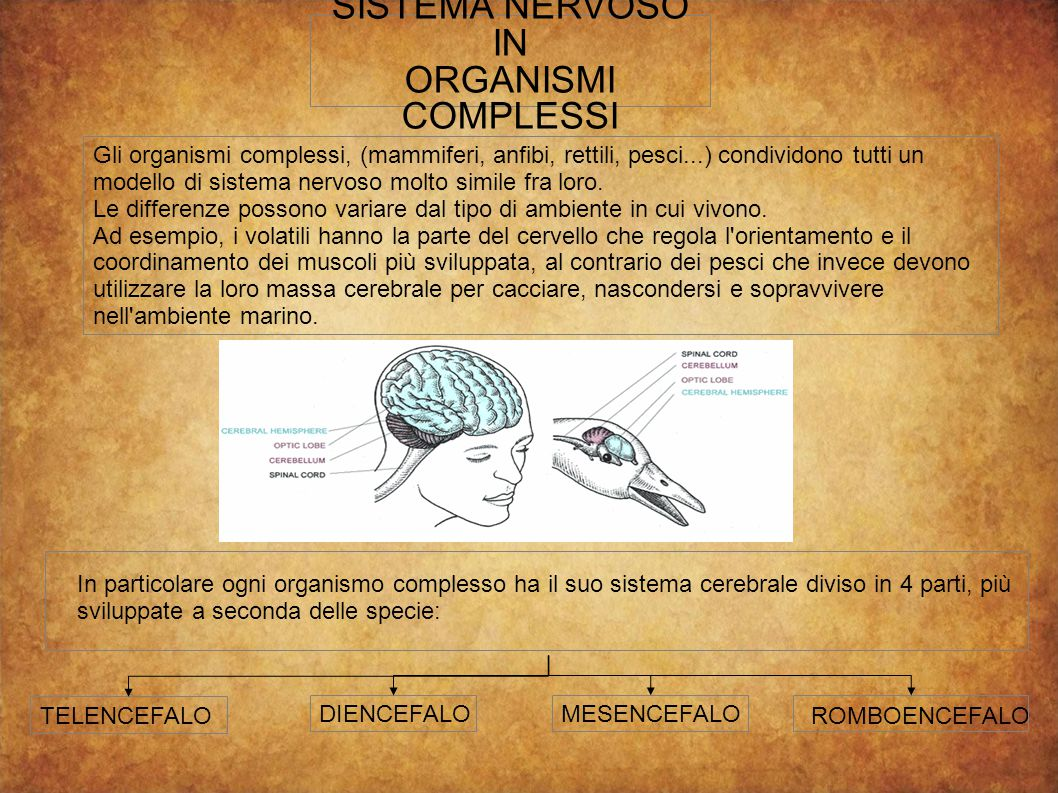 SISTEMA NERVOSO IN ORGANISMI COMPLESSI