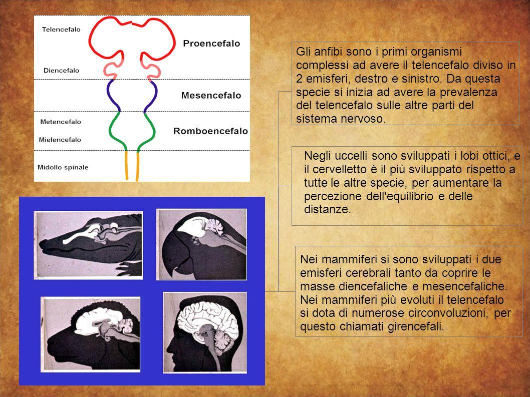 Gli anfibi sono i primi organismi complessi ad avere il telencefalo diviso in 2 emisferi, destro e sinistro. Da questa specie si inizia ad avere la prevalenza del telencefalo sulle altre parti del sistema nervoso.