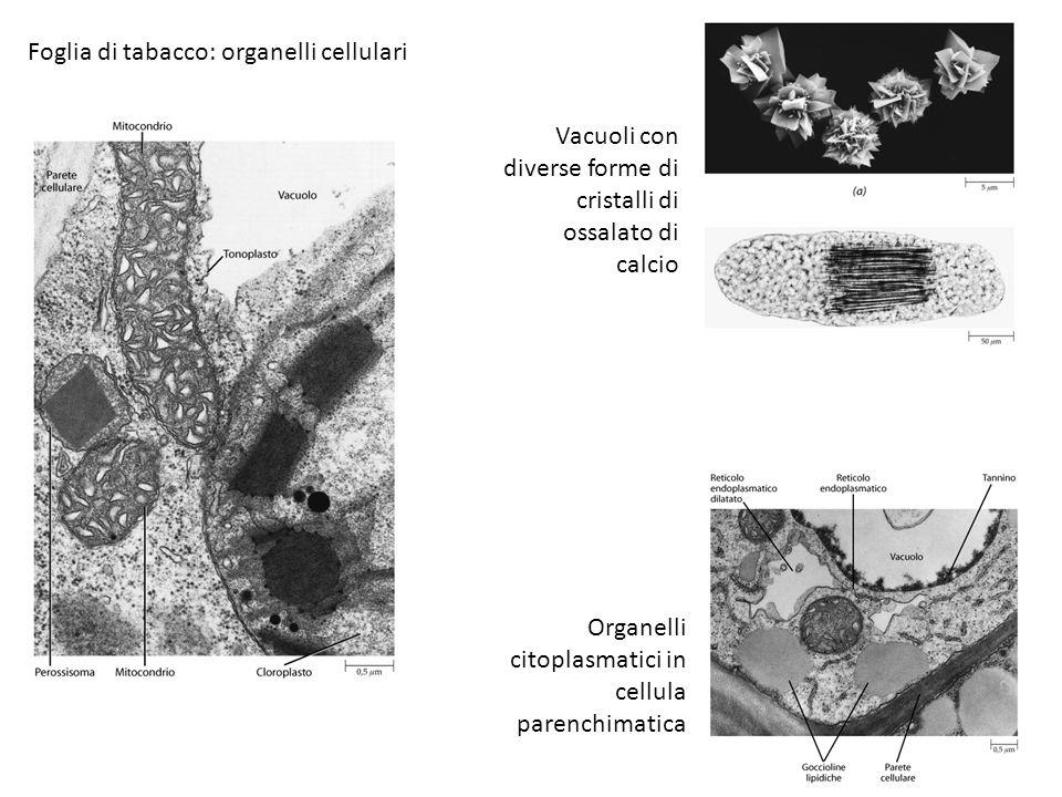 Foglia di tabacco: organelli cellulari