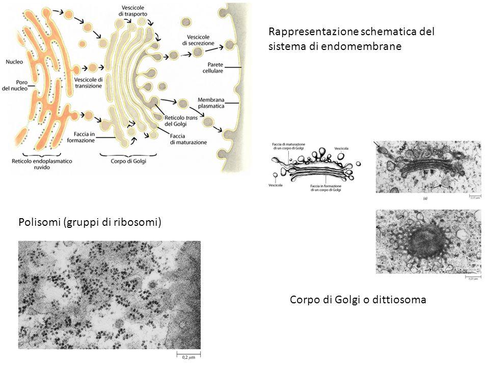 Rappresentazione schematica del sistema di endomembrane