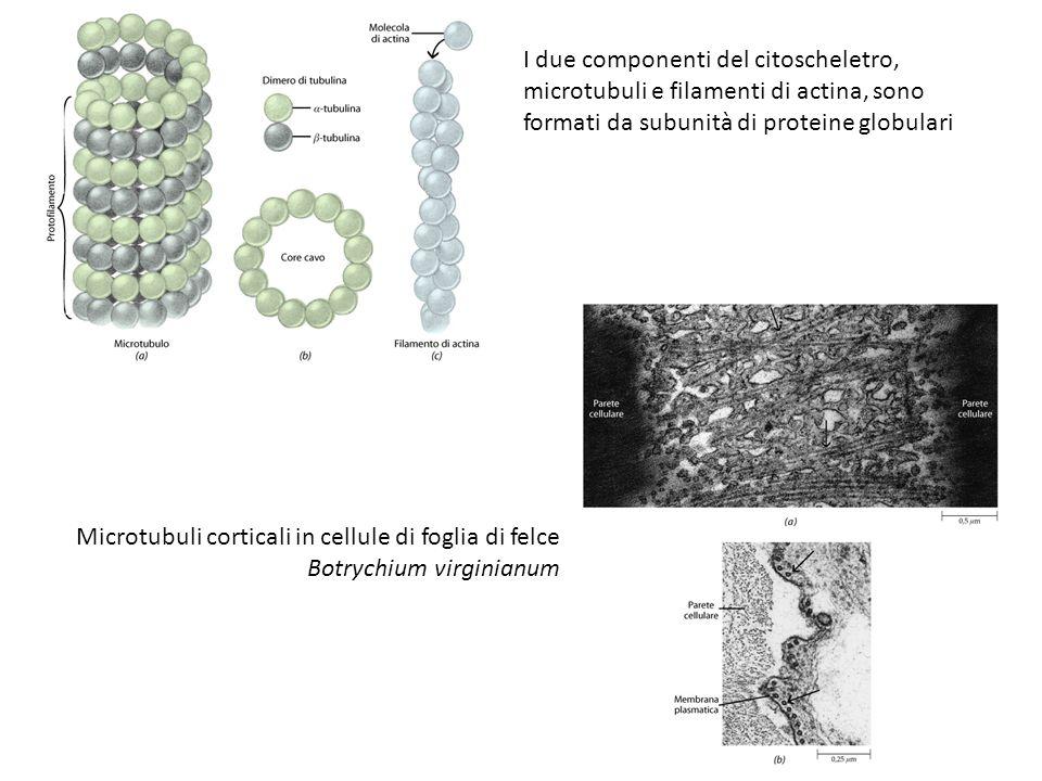 I due componenti del citoscheletro, microtubuli e filamenti di actina, sono formati da subunità di proteine globulari