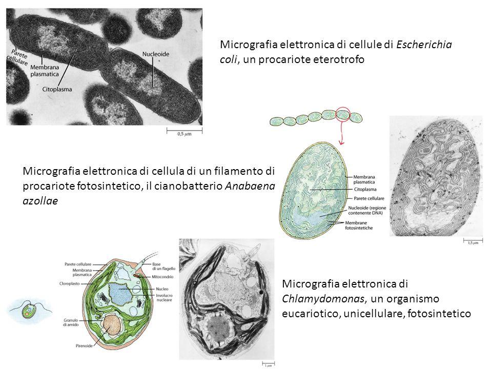 Micrografia elettronica di cellule di Escherichia coli, un procariote eterotrofo