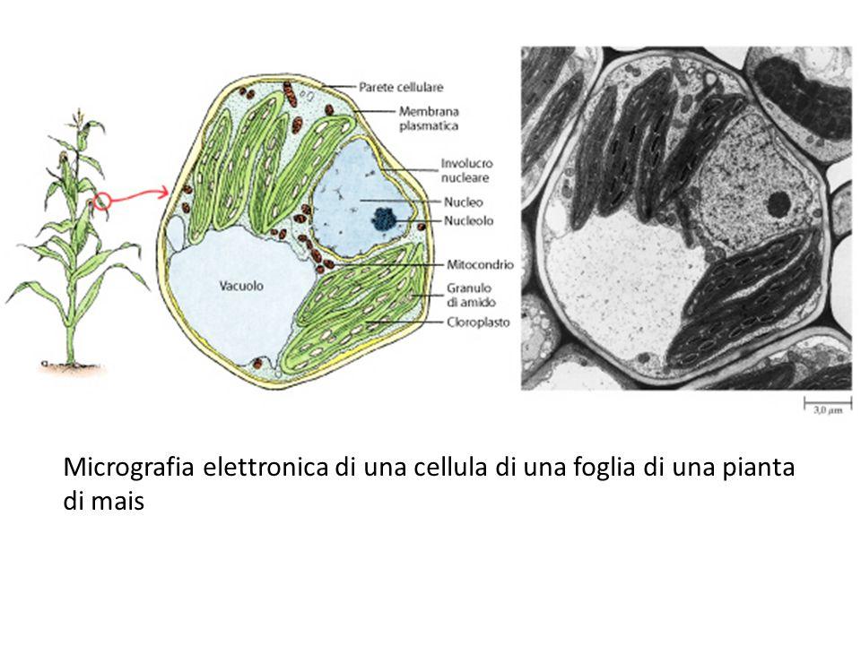 Micrografia elettronica di una cellula di una foglia di una pianta di mais