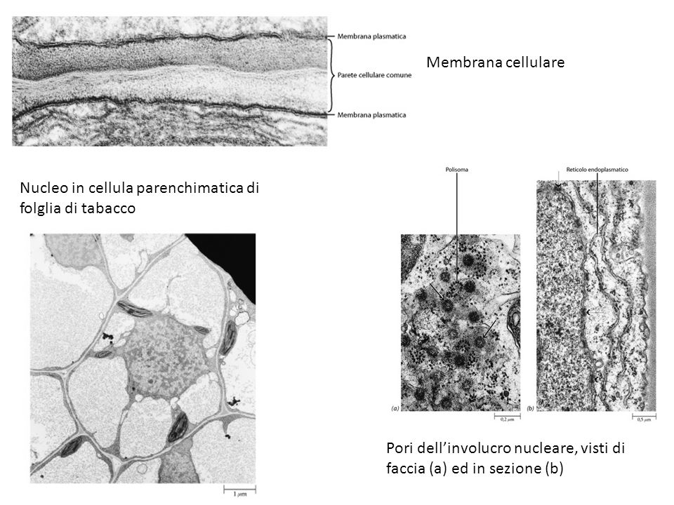Membrana cellulare Nucleo in cellula parenchimatica di folglia di tabacco.