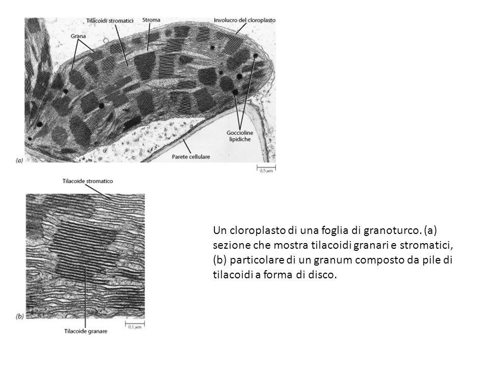 Un cloroplasto di una foglia di granoturco
