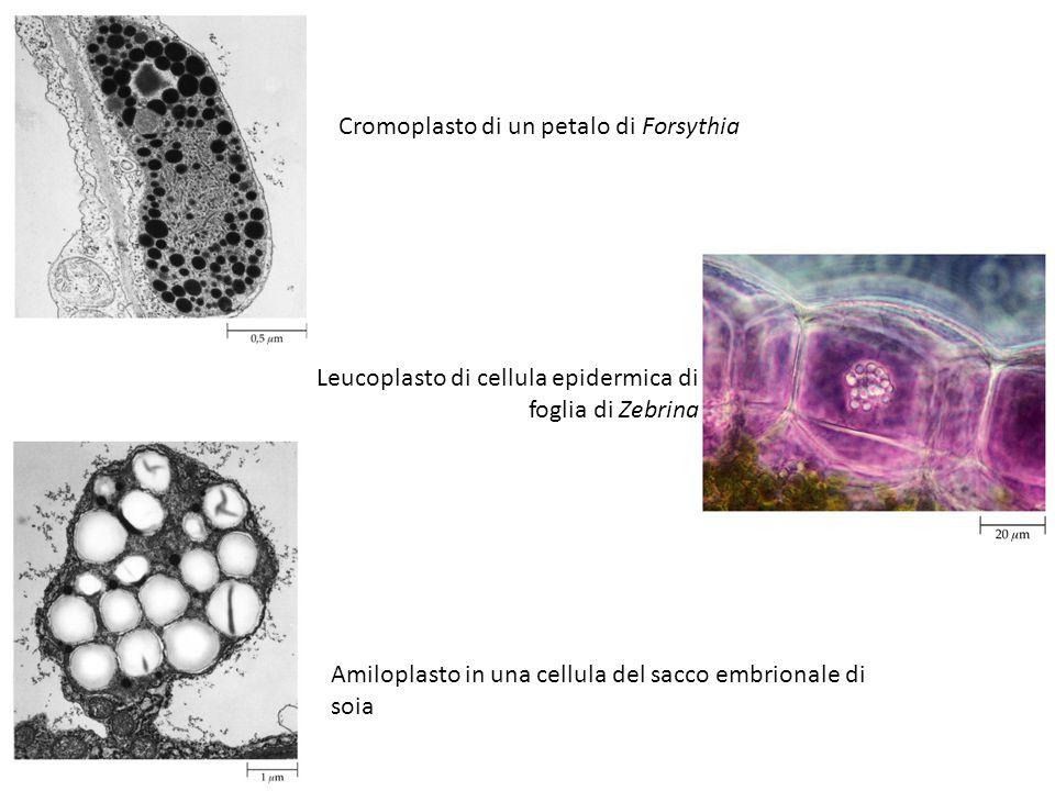 Cromoplasto di un petalo di Forsythia