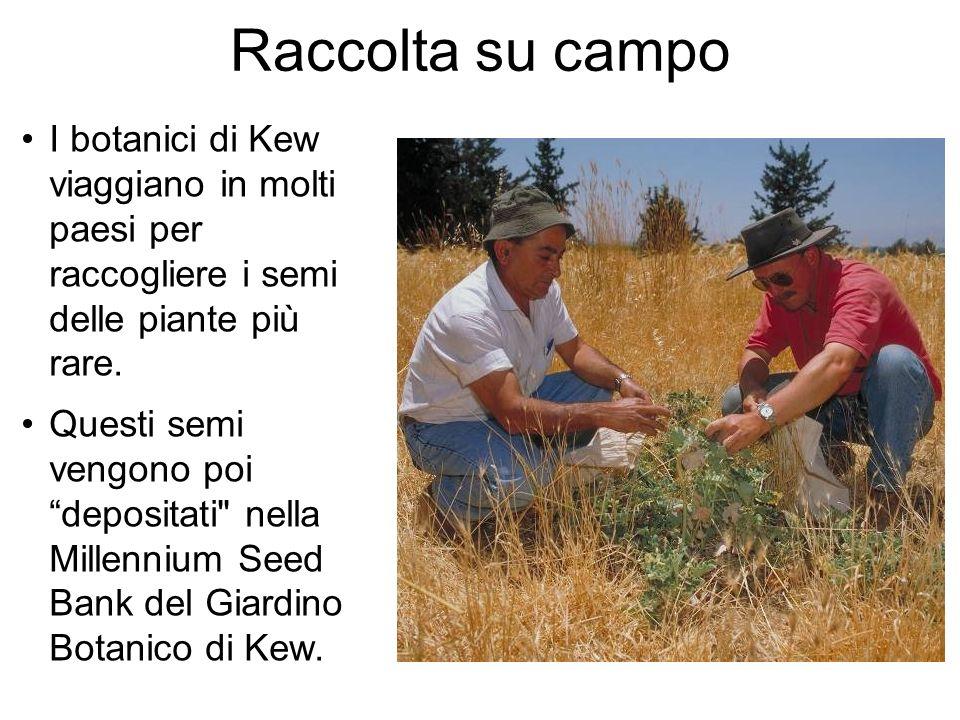 Raccolta su campo I botanici di Kew viaggiano in molti paesi per raccogliere i semi delle piante più rare.