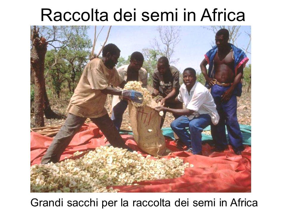Raccolta dei semi in Africa