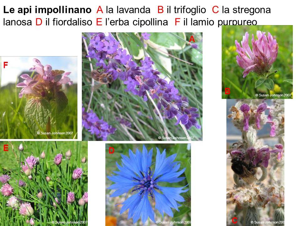 Le api impollinano A la lavanda B il trifoglio C la stregona lanosa D il fiordaliso E l'erba cipollina F il lamio purpureo