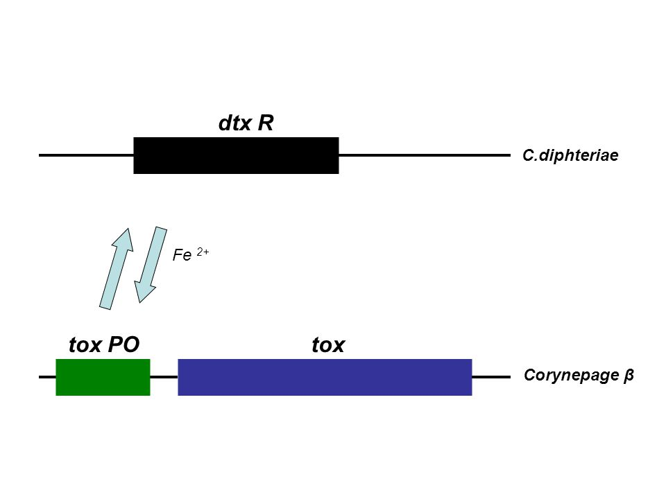 dtx R C.diphteriae Fe 2+ tox PO tox Corynepage β